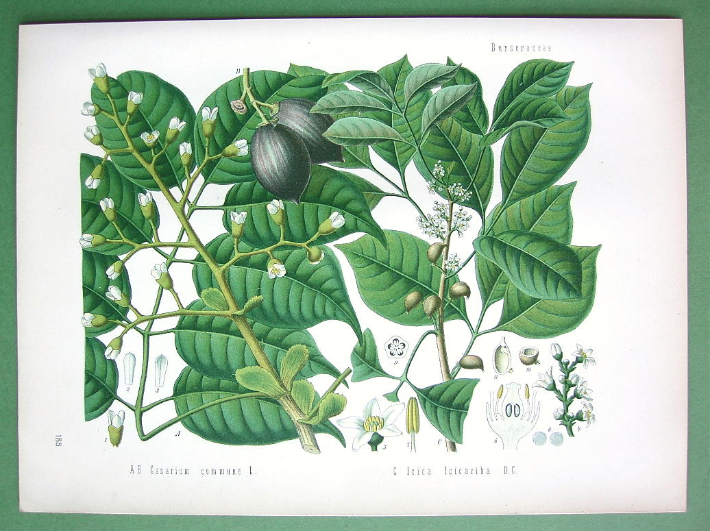 English Names Java Almond Manila Elemi French N A German Elemibaum Another Fine Quality Botanical Print From Martin2001